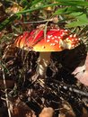 Amanita mushroom in autumn forest Royalty Free Stock Photo