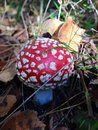 Amanita mushroom in autumn forest Royalty Free Stock Photography