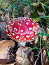 Amanita mushroom in autumn forest Stock Photo