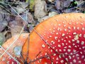 Amanita mushroom in autumn forest Stock Photography