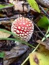 Amanita mushroom in autumn forest Stock Images