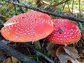 Amanita mushroom in autumn forest Royalty Free Stock Photos