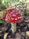 Amanita mushroom in autumn forest Stock Image