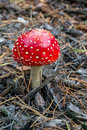 Amanita poisonous mushroom close up picture of a in nature Royalty Free Stock Photo
