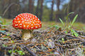 Amanita. Red Mushroom . Stock Photography