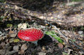 Amanita in the woods among the fallen leaves Stock Image