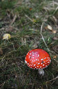 Amanite muscaria Stock Image