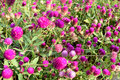 AMARANTH or Bachelor's button, Button agaga, Everlasting, Gomphrena, Globe amaranth, Pearly Everlasting Royalty Free Stock Photo