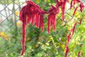 Amaranth (Love-Lies-Bleeding) by Chain-Link Fence Royalty Free Stock Photo