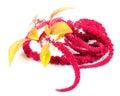 Amaranth (Love-Lies-Bleeding) Flowers Stock Image