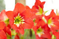 Amaryllidaceae hippeastrum jahnsonii in the garden Stock Photography