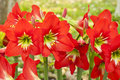 Amaryllidaceae hippeastrum jahnsonii in the garden Royalty Free Stock Photo