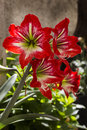 Amaryllis amaryllidaceae flower in greece Royalty Free Stock Images