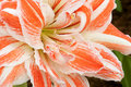 Amaryllis flower Royalty Free Stock Photography
