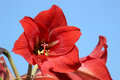 Amaryllis Flower Closeup
