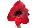 Amaryllis flower red amariyllis over white background Stock Photos