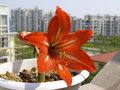 Amaryllis hippeastrum flower in city shanghai Stock Photos