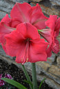 Amaryllis red blossoms in a flower garden Royalty Free Stock Image