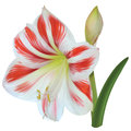 Amaryllis white-red flower Royalty Free Stock Photo