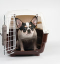 Amazed chihuahua looks out of pet carrier Royalty Free Stock Photography