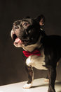 Amazed french bulldog puppy dog wearing bowtie in studio with mouth open and tongue exposed Royalty Free Stock Photography