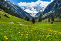 Amazing alpine spring summer landscape with green meadows flowers and snowy peak in the background. Austria, Tirol, Stillup valley Royalty Free Stock Photo