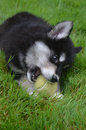 Amazing Alusky Puppy Dog Resting in Grass with a Ball Royalty Free Stock Photo