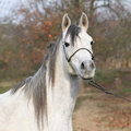 Amazing arabian horse with show halter portrait of in autumn Stock Image