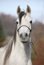 Amazing arabian horse with show halter portrait of in autumn Royalty Free Stock Photography