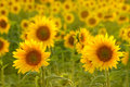 Amazing beauty of golden sunlight on sunflower petals. Beautiful view on field of sunflowers at sunset Royalty Free Stock Photo