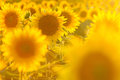 Amazing beauty of sunflower field with bright sunlight on flower Royalty Free Stock Photo