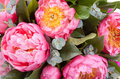 Amazing bouquet of pink pions closeup Royalty Free Stock Images