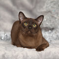 Amazing burmese cat in front of christmas decorations brown Royalty Free Stock Photos