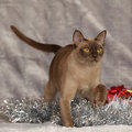 Amazing burmese cat in front of christmas decorations brown Royalty Free Stock Photography
