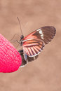 Fragile Red Cattle Heart Butterfly, Amazonian Rainforest Royalty Free Stock Photo