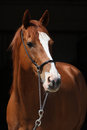 Amazing chestnut thoroughbred isolated on black background with halter Stock Photos