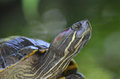 Amazing Close-Up Painted Turtle Resting Royalty Free Stock Photo