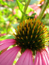 Amazing Echinacea the  healer Royalty Free Stock Photo