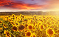 Amazing fairy sundown on sunflower field with sunflowers on foreground. Scenic view on sunflowers with golden sunlight in sundown Royalty Free Stock Photo