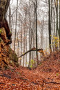 Amazing fall forrest lovely nature picture of an european forest in autumn bavaria germany spooky and creepy atmosphere Royalty Free Stock Photography