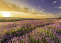 Amazing field of lavender in the mountains at sunset Royalty Free Stock Photos