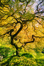Amazing green tree japanese maple nature garden Stock Photos
