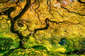 Amazing green tree japanese maple nature garden Stock Images