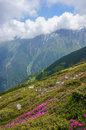 Amazing landscape with pink rhododendron flowers on the mountain in the summer and fluffy clouds carpathian mountains fagaras Royalty Free Stock Photography