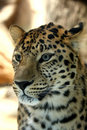 Amazing leopard Royalty Free Stock Photo