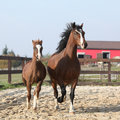 Amazing mare with beautiful foal running Royalty Free Stock Photo