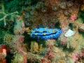 True sea slug Royalty Free Stock Photo