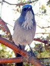 Tilted Head of Blue Jay Bird on a Branch Royalty Free Stock Photo