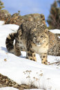 Amazing photograph of stalking snow leopard Royalty Free Stock Photo