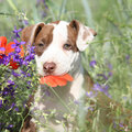 Amazing puppy of American Pit Bull Terrier in flowers Royalty Free Stock Photo